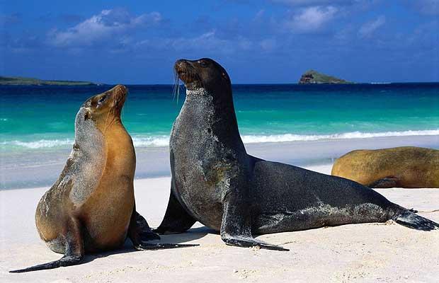 Галапагосский морской лев