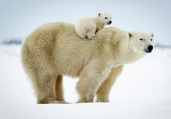 Белые медведи в Арктике