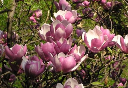 Цветы могнолии