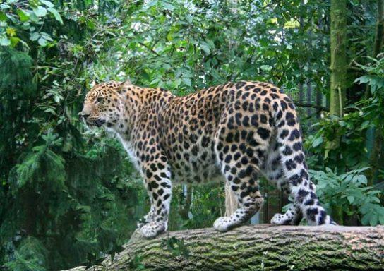 amurskiy-leopard