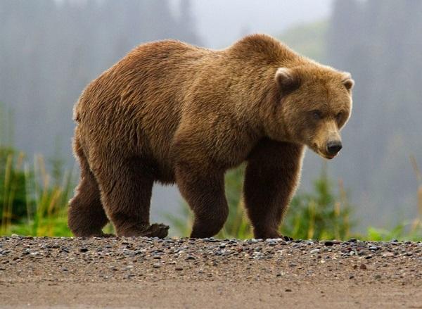 Бурые медведь