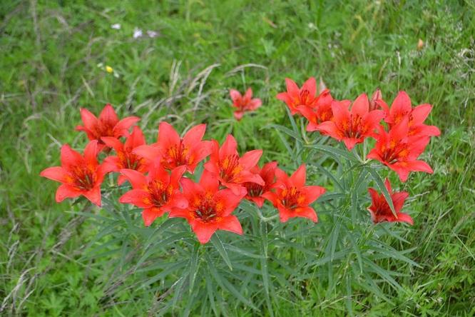 Цветы в Якутии