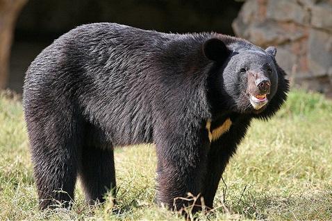 Гималайские медведи
