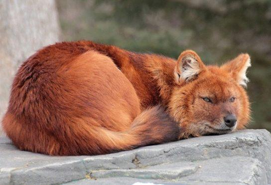 krasniy-volk