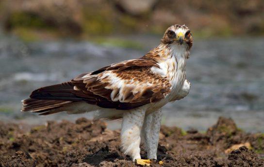 Орел-карлик Aquila pennata