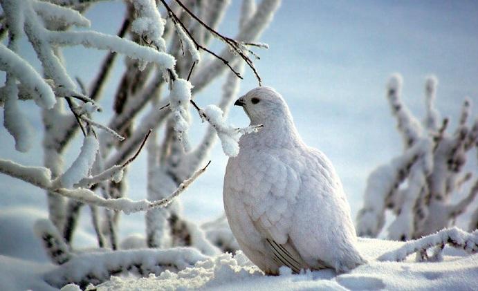Птицы в Якутии
