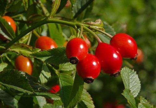 Полезная ягода Шиповник