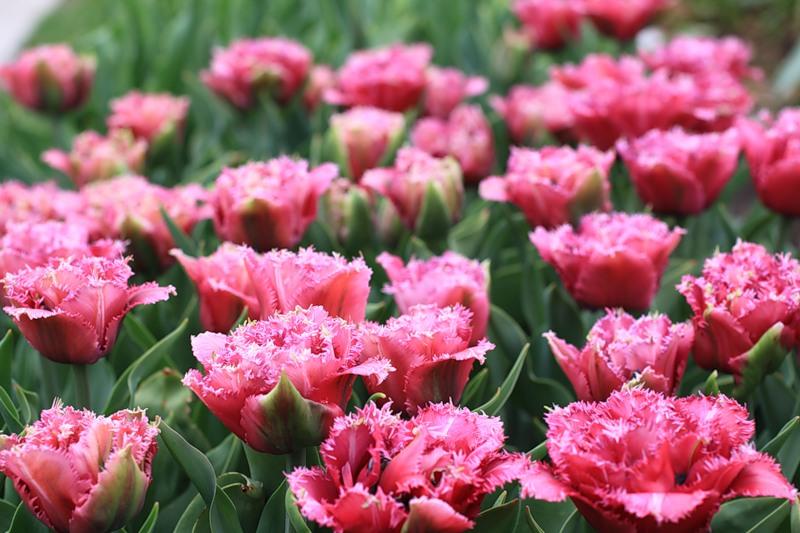 Разные сорта тюльпанов