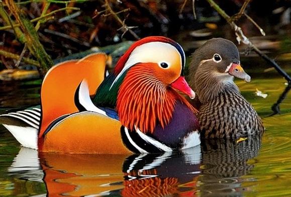 Утки-мандаринки