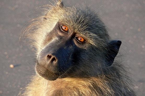 baboon-of-afrika
