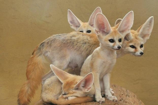 Миниатюрные лисички