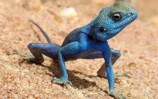Одна из видов рептили
