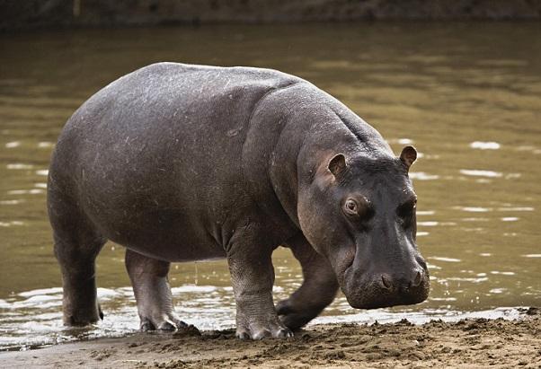 Бегемот в водоеме