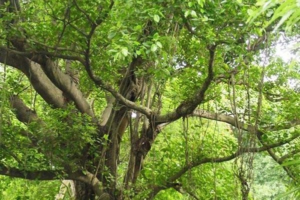 Эбеновое дерево