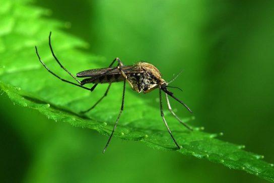 komari