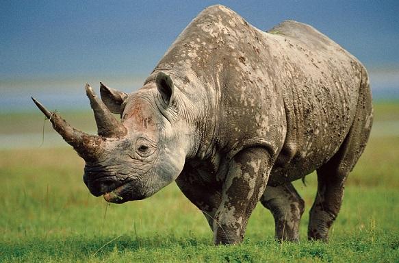 Носорог на лужайке