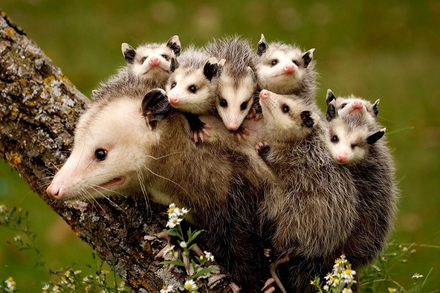 Семейство опоссумов