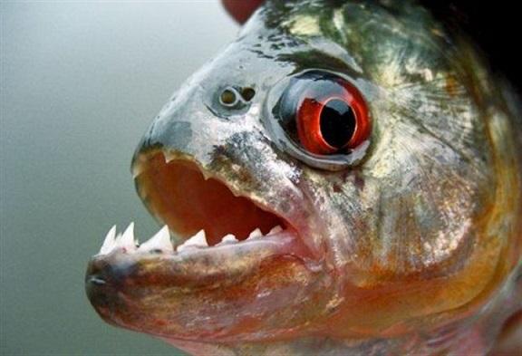 Хищная рыба - Пиранья