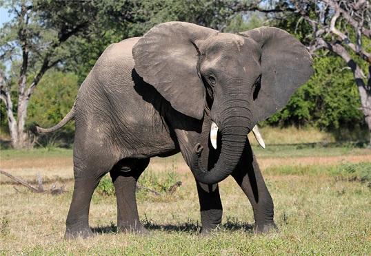 Слон на прогулке