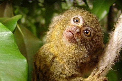 Узконосые обезьяны