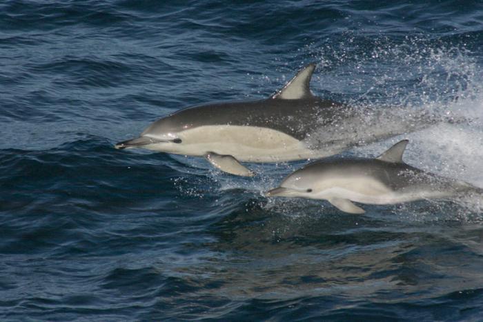 Беломордые дельфины