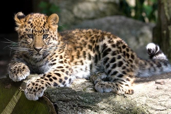 Леопард дальневосточный (амурский)