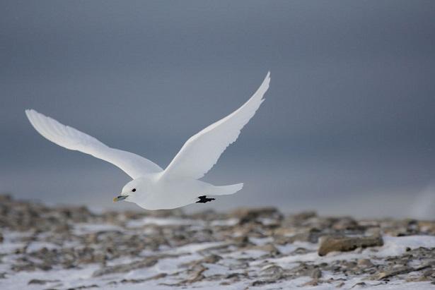 Белая чайка