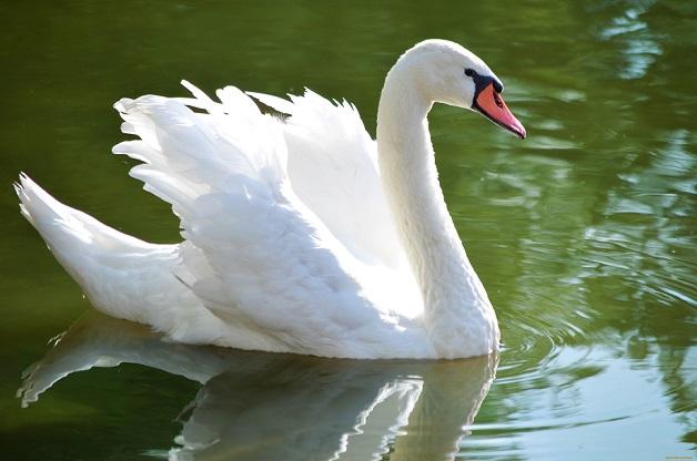 Лебеди-шипун