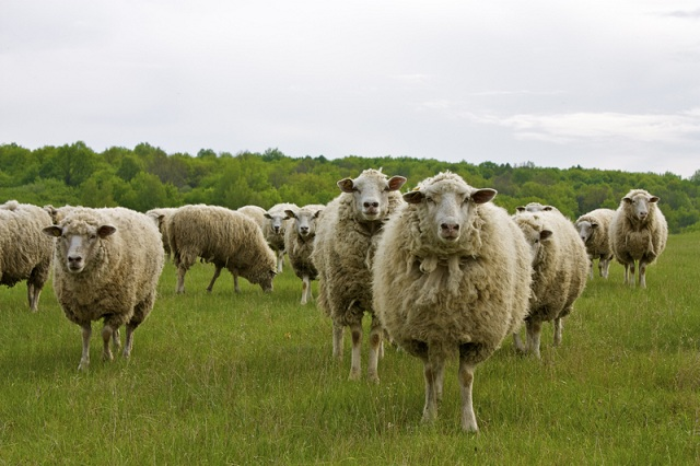 Перепас скота