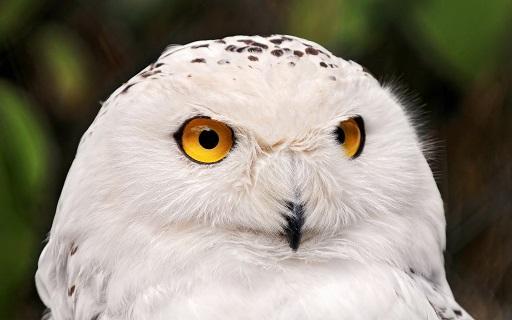 как выглядит полярная сова