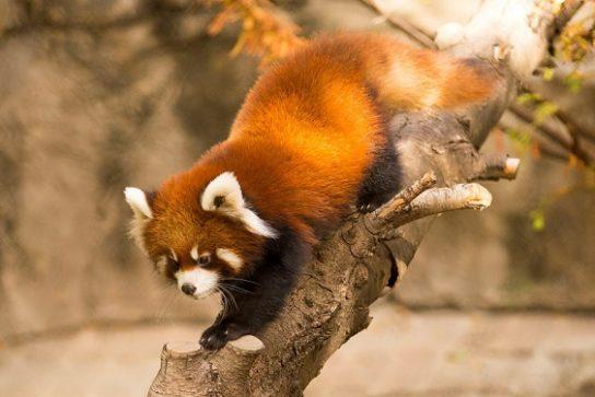где обитает малая панда