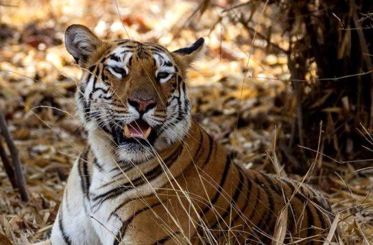 как выглядит бенгальский тигр