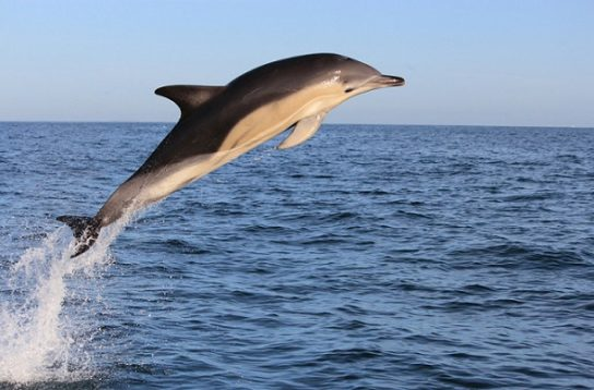 Дельфин-белобочка Delphinus delphis