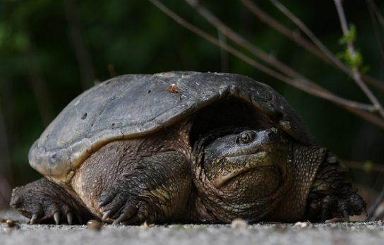 описание каймановой черепахи