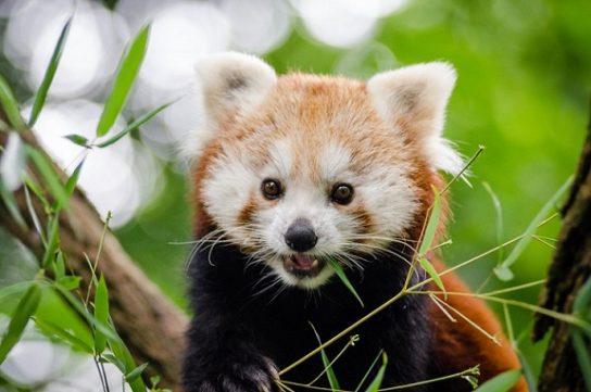 фото красной панды