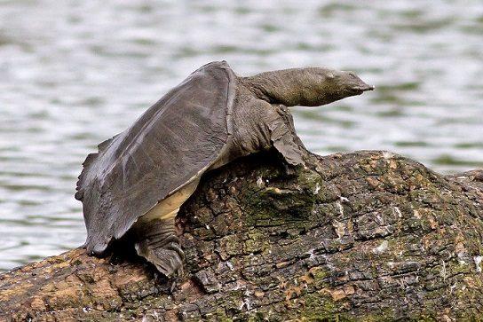 описание дальневосточной черепахи