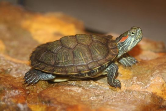 как выглядит красноухая черепаха