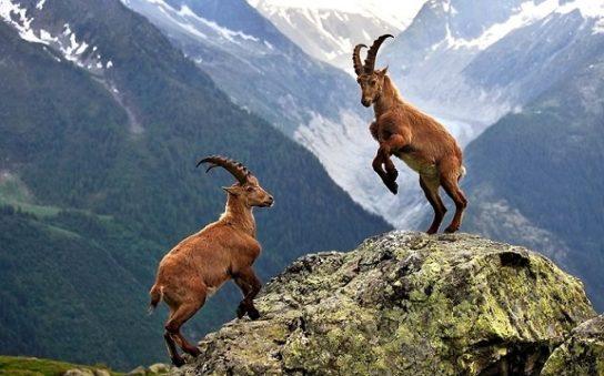 горный козел Ибекс