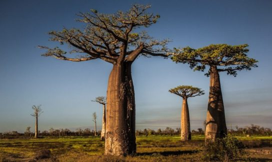 На каком материке растет баобаб?