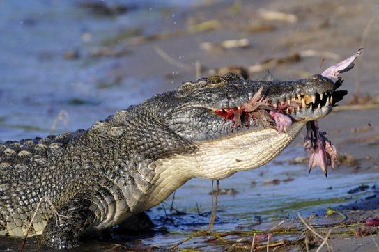 чем питается нильский крокодил