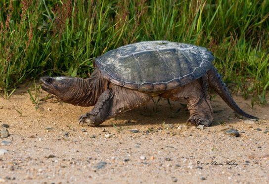 как долго живут каймановые черепахи
