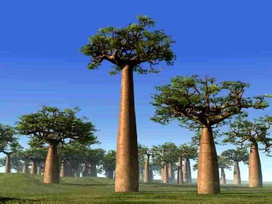 Баобаб Adansonia grandidieri