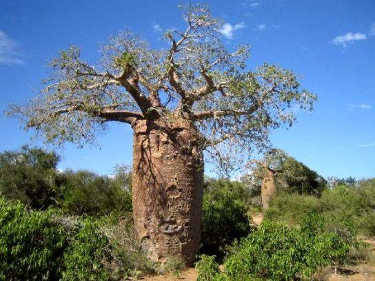 Баобаб Adansonia rubrostipa