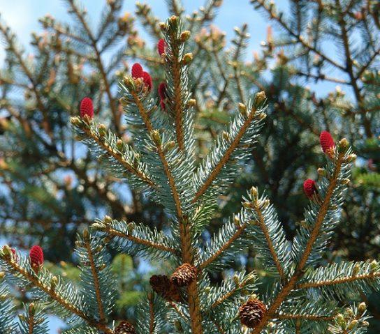 Picea jezoensis hondoensis
