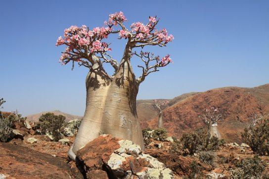 Цветение баобаба