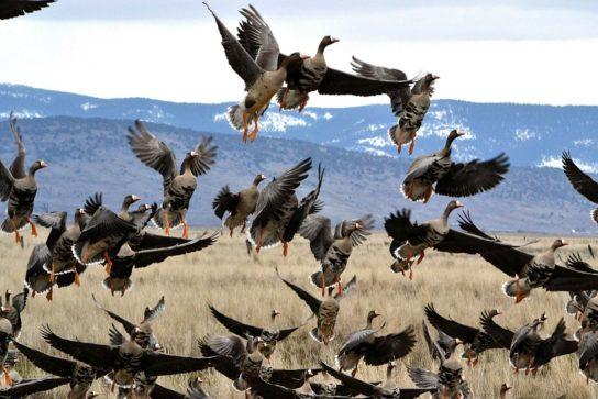Брачные отношения гусей