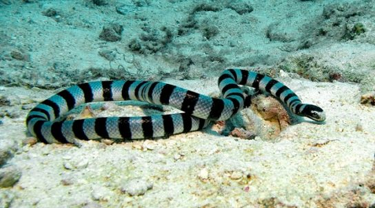 Морская змея Белчера