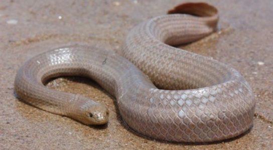 Морская змея Дюбуа