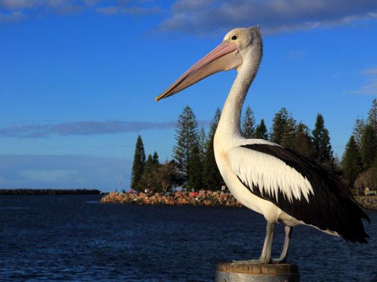 описание пеликана
