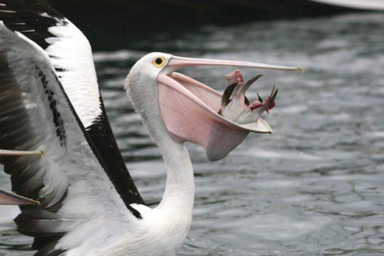 Потомство пеликана